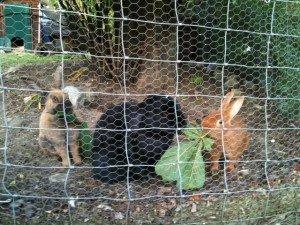 Nos trois lapins dans Rongeurs lapins-300x225
